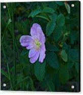 Wild Rose 6 Acrylic Print