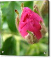 Wild Rose Bud Acrylic Print
