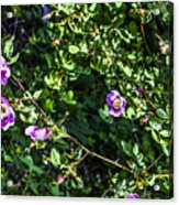 Wild Rose Habitat Acrylic Print
