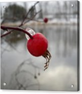 Wild Rose Hip On Mississippi River Bank Acrylic Print