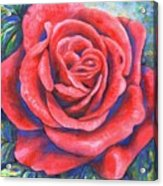 Wild Rose Three Acrylic Print