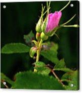 Wild Rosebud Acrylic Print