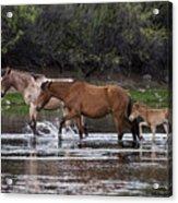 Wild Salt River Horses River Walk Acrylic Print