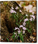 Wild Spring Beauty Acrylic Print