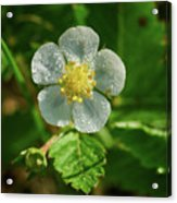 Wild Strawberry Flower Acrylic Print