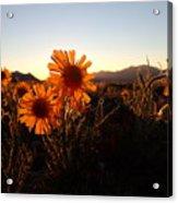 Wild Sunflowers Of Buena Vista Acrylic Print