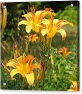 Wild Tiger Lilies Acrylic Print