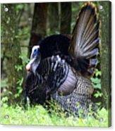 Wild Turkey 1 Acrylic Print