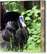 Wild Turkey 2 Acrylic Print