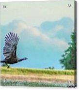 Wild Turkey Flight Acrylic Print