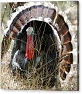 Wild Turkey Acrylic Print