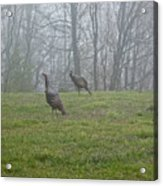Wild Turkey Grazing At Dawn Acrylic Print