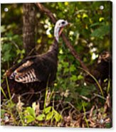 Wild Turkey In Tennessee Acrylic Print