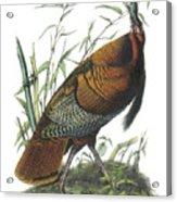 Wild Turkey Acrylic Print by John James Audubon