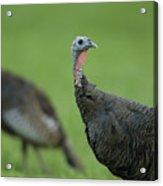 Wild Turkey Meleagris Gallopavo Acrylic Print by Joel Sartore