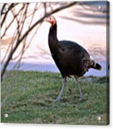 Wild Turkey. Acrylic Print