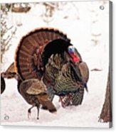 Wild Turkey Parade Print Acrylic Print