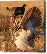 Wild Turkey Tom Following Hens Acrylic Print by Max Allen