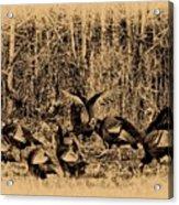 Wild Turkeys Acrylic Print by Bill Cannon