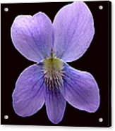 Wild Violet On Black Acrylic Print