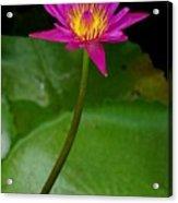 Wild Water Lily Acrylic Print