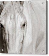 Wild White Horse Acrylic Print