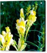 Wild Yellow Flowers Acrylic Print