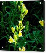 Wild Yellow Flowers On Black Background Acrylic Print