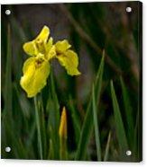 Wild Yellow Iris Acrylic Print