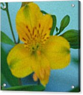 Wild Yellow Lilly Acrylic Print