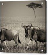 Wildebeest 8947b Acrylic Print