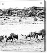 Wildebeest On The Move Acrylic Print