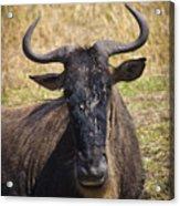 Wildebeest Taking A Break Acrylic Print