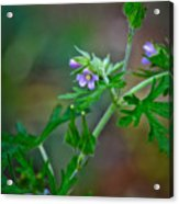 Wildflower 1 Acrylic Print