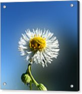 Wildflower In The Wind 209 Acrylic Print