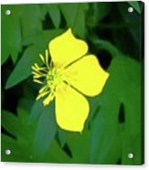 Small Sundrops Flower Acrylic Print