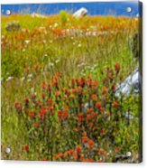 Wildflower Meadow With Indian Paintbrush Acrylic Print