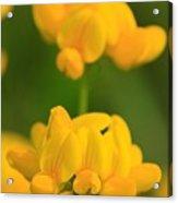 Wildflower Named Birdsfoot Trefoil Acrylic Print