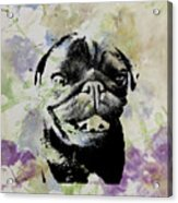 Wildflower Pug Acrylic Print