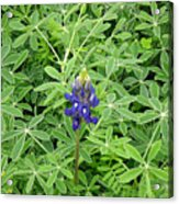 Wildflowers - All Alone And Blue Acrylic Print