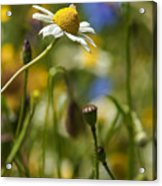 Wildflowers 1 Acrylic Print