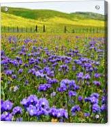 Wildflowers Carrizo Plain Acrylic Print