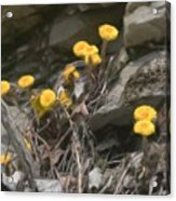 Wildflowers In Rocks Acrylic Print