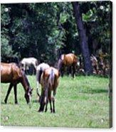 Wildhorses Of Cumberland Acrylic Print