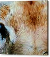 Wildlife Lion 10 Acrylic Print