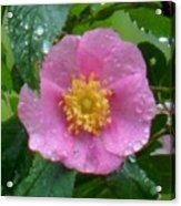 Wild's Pink Rose Acrylic Print