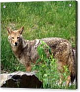 Wiley Coyote Acrylic Print
