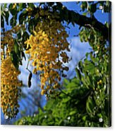 Wilhelmina Tenney Rainbow Shower Tree Makawao Maui Flowering Trees Of Hawaii Acrylic Print