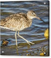 Willet Feeding In The Marsh 1 Acrylic Print