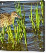 Willet Feeding In The Marsh 2 Acrylic Print